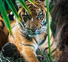 Young tiger by blackhatphoto