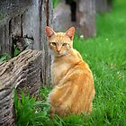 Ginger Cat by Clare Colins