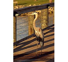 Big Bird Walks on an Indian River Pier Photographic Print