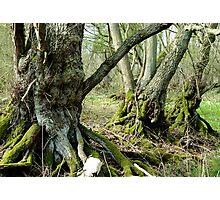 The Bog Oak Three Photographic Print
