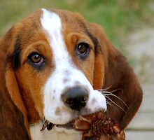 Bassett Hound Puppy by Sam Pierce