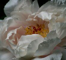 Peony Rose by gisondan
