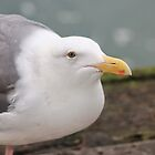 Seagull by Laurie Puglia