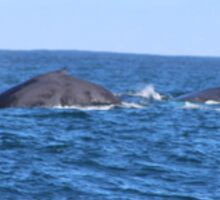 Two Grey Whales Sticker