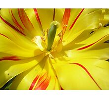 yellow tulips Photographic Print
