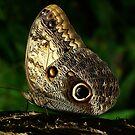 Owl Butterfly by Macky