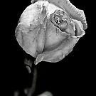 Sad rose. by Jeff  Wiles