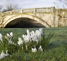 Crocuses and Stone Bridge by John Messingham