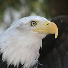 the magnificent bald eagle by RichImage