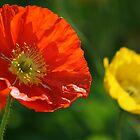 Orange poppy by gisondan