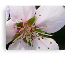 Peach Blossom Macro Canvas Print