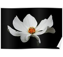 White Cosmos Bloom 2 Poster
