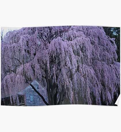 Magnificent Weeping Cherry  Poster