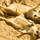 Playful Meercats by Jason Anderson