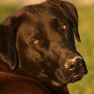 Black Lab - Labrador Retriever - Dog Photograph by Ryan Houston
