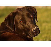 Black Lab - Labrador Retriever - Dog Photograph Photographic Print