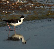 Black-Necked Stilt - Wetlands  by Ryan Houston