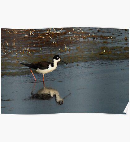 Black-Necked Stilt - Wetlands  Poster