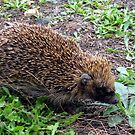 NZ Hedgehog by Andrew S