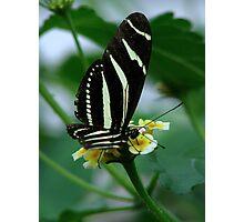 The Zebra Longwing Photographic Print