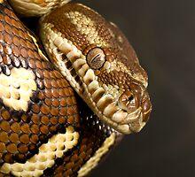 Bredl's Python by Frank Yuwono