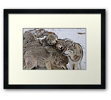 Playful Wolf Pack Framed Print