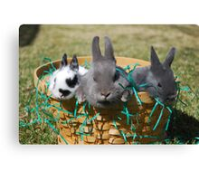 Easter bunnies002 Canvas Print