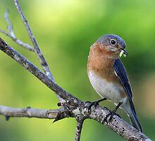 Curious Bluebird by Bonnie T.  Barry