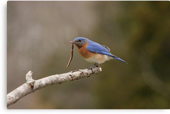 Eastern Blue Bird by Gregg Williams