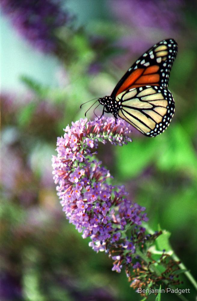 Monarch Butterfly by Benjamin Padgett
