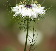 White Nigella Damascena, Love-in-a-mist or Devil-in-the-Bush by Debbie Cato