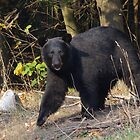 Black Bear Approaching by Molly  Kinsey