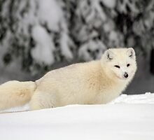 Arctic Wolf (Canis lupus arctos), also called snow wolf or white wolf by PhotoStock-Isra