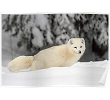 Arctic Wolf (Canis lupus arctos), also called snow wolf or white wolf Poster