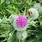 Flower of Scotland by NordicBlackbird