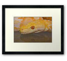 Albino Reticulated Python Framed Print