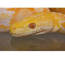 Albino Reticulated Python Photographic Print