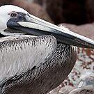 Brown Pelican II by Steve Bulford