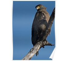 Crested Serpent Eagle Poster