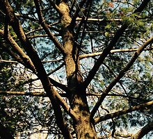 Pine Tree in Central Park NYC by MissCellaneous