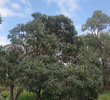 Banksia Tree by lezvee