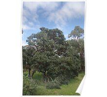 Banksia Tree Poster
