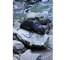 Seal pup at the river Photographic Print