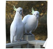 Australian White Cockatoo Poster