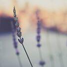 Lavenders by Katayoonphotos