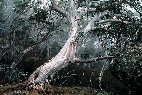 Snow Gum Forest by Ern Mainka