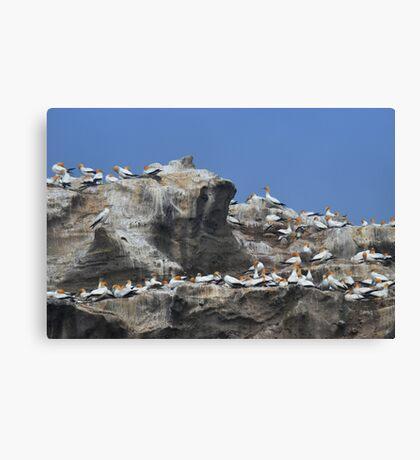 Australasian Gannets 2 Canvas Print