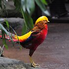 Golden Pheasant by champion