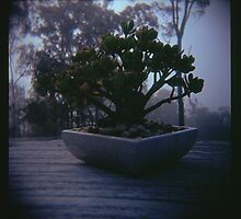 Holga madness..... little bonsai in daniland by Juilee  Pryor