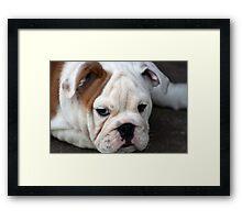 Barney the Bulldog Framed Print